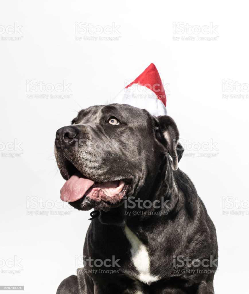Neapolitan Mastiff Mix Wearing a Christmas Hat - The Amanda Collection stock photo
