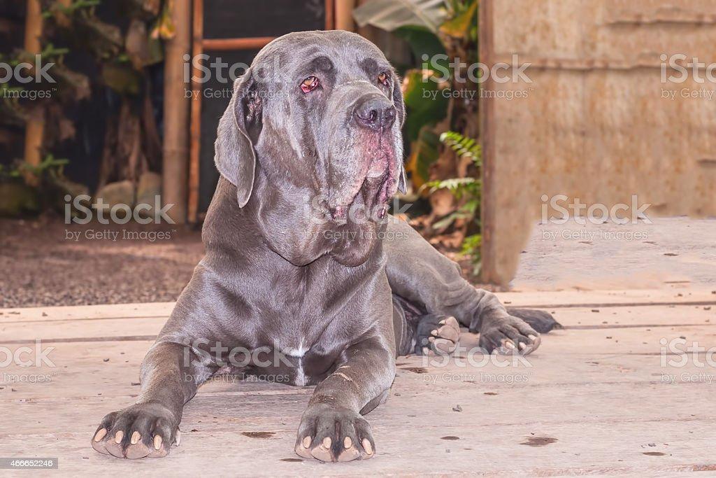 Neapolitan Mastiff Or Italian Mastiff Dog stock photo