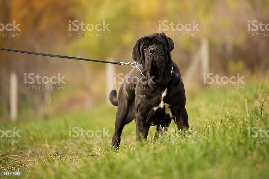 Neapolitan mastiff stock photo