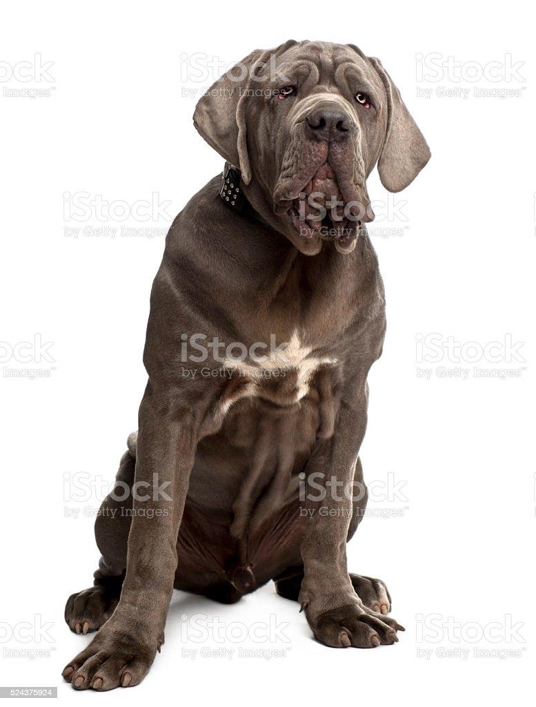 Neapolitan Mastiff puppy, 6 months old, sitting stock photo