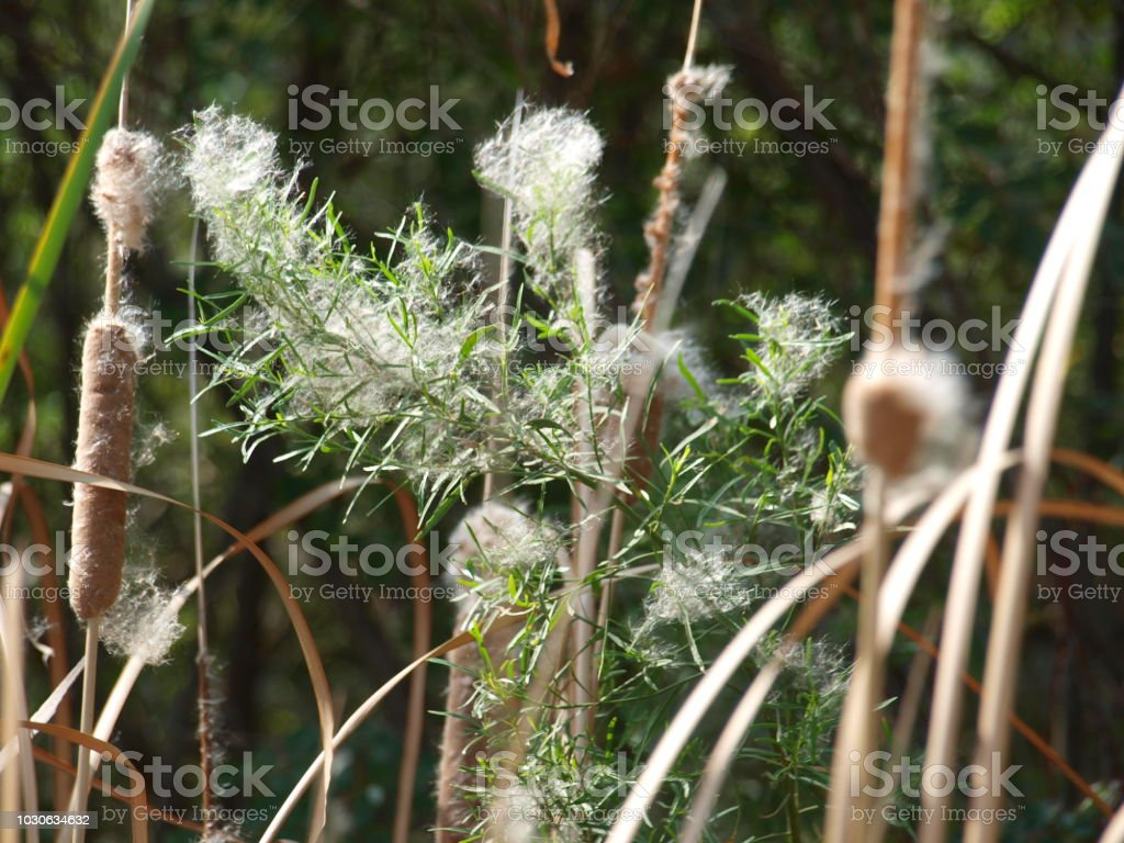 Nearby Plants Catch The Seed Pod Releases stock photo