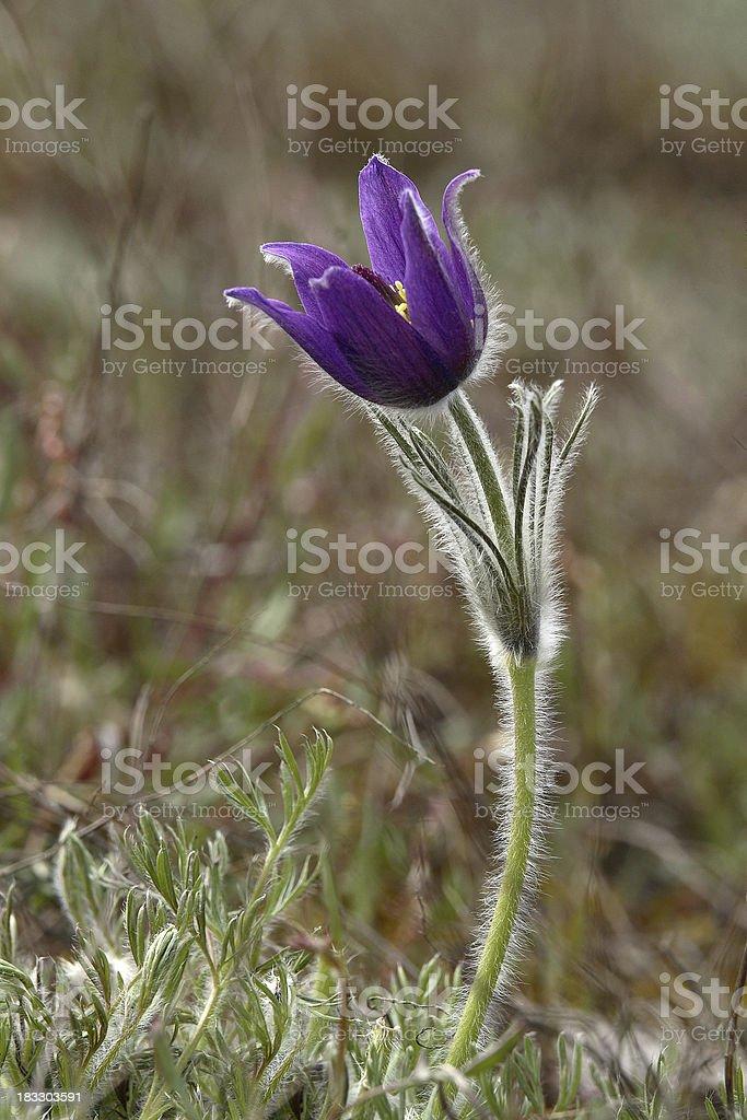 Nearly Open Common Pasque Flower stock photo
