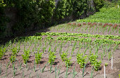 neat rows of planted vegetables in a garden