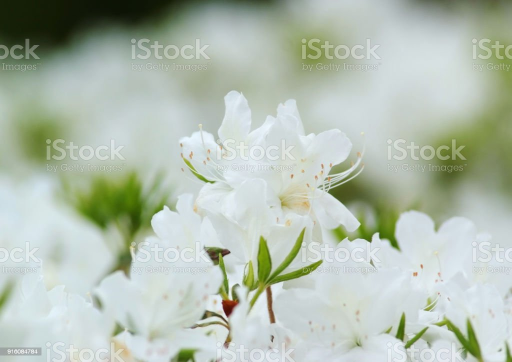Neat white azalea flower stock photo