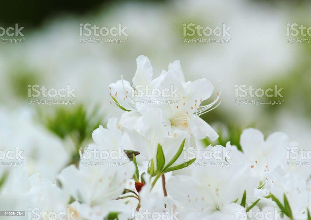 Snygg vit azalea blomma bildbanksfoto