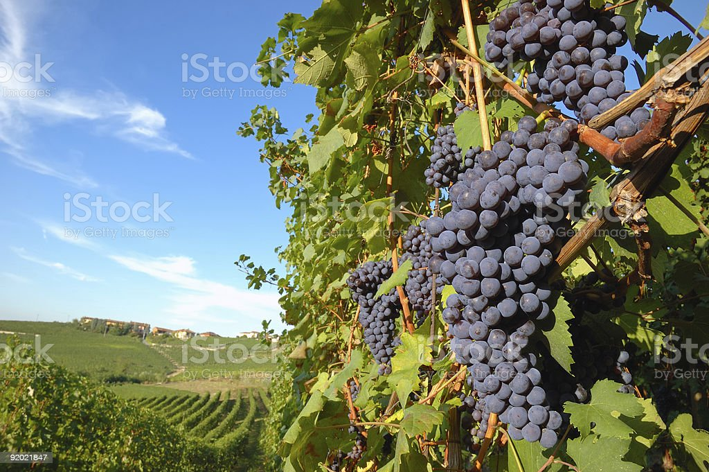 Nebbiolo grapes ready for harvest royalty-free stock photo
