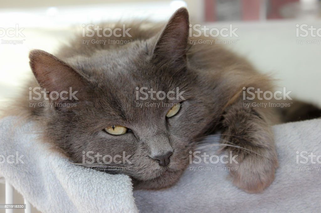 Nebelung cat laying down close-up face stock photo