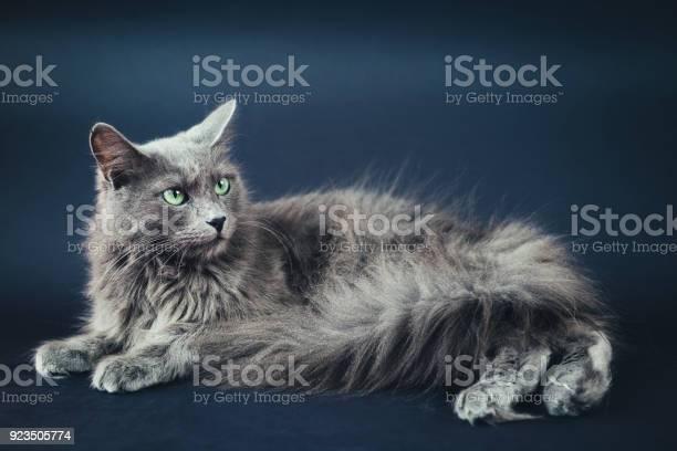 Nebelung cat portrait on gray picture id923505774?b=1&k=6&m=923505774&s=612x612&h=2skiu1dtbg1s9xp6rrzpujrsue6nhor6xjsgwgbjya8=