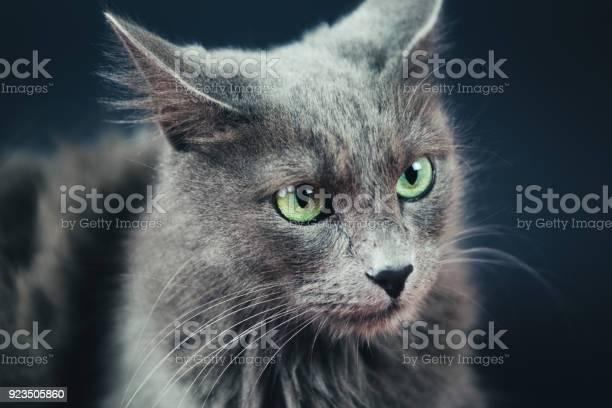 Nebelung cat portrait on gray picture id923505860?b=1&k=6&m=923505860&s=612x612&h=0krbexx4tztg6cihg rhu8ibtkc1cstxxdysnjlzdbu=