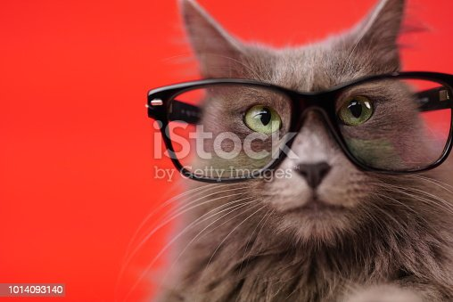 Close up portrait of a Nebelung cat wearing reading glasses. Isolated on red background.