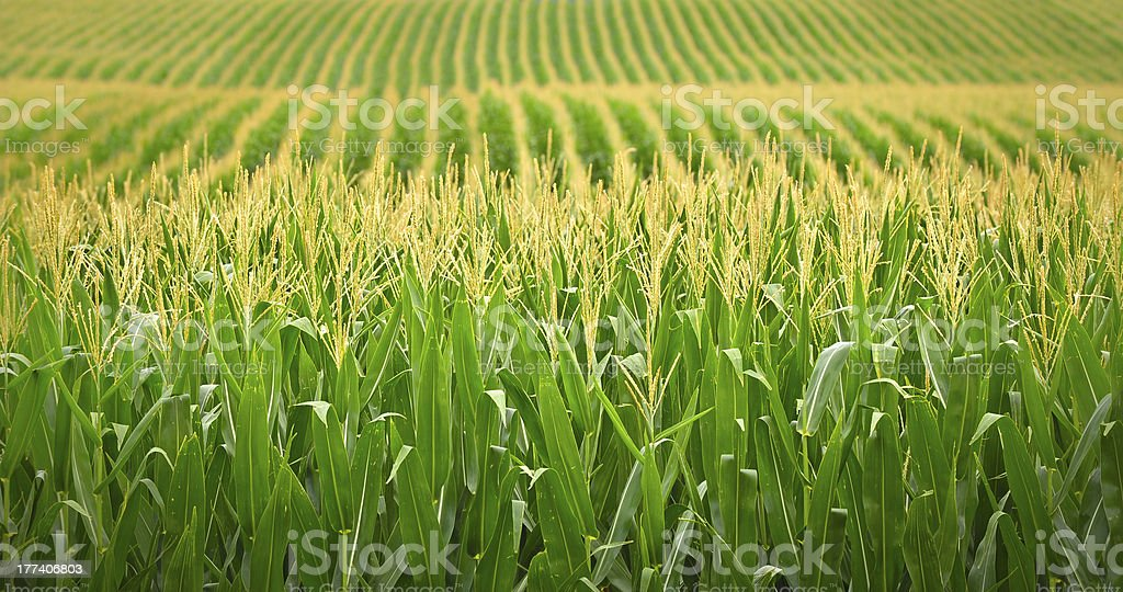 Nebraska Cornfield stock photo