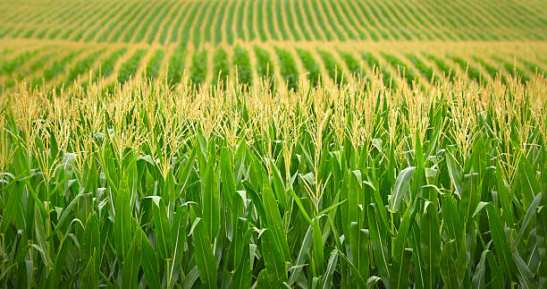 Royalty Free Cornfield Pictures, Images and Stock Photos ...