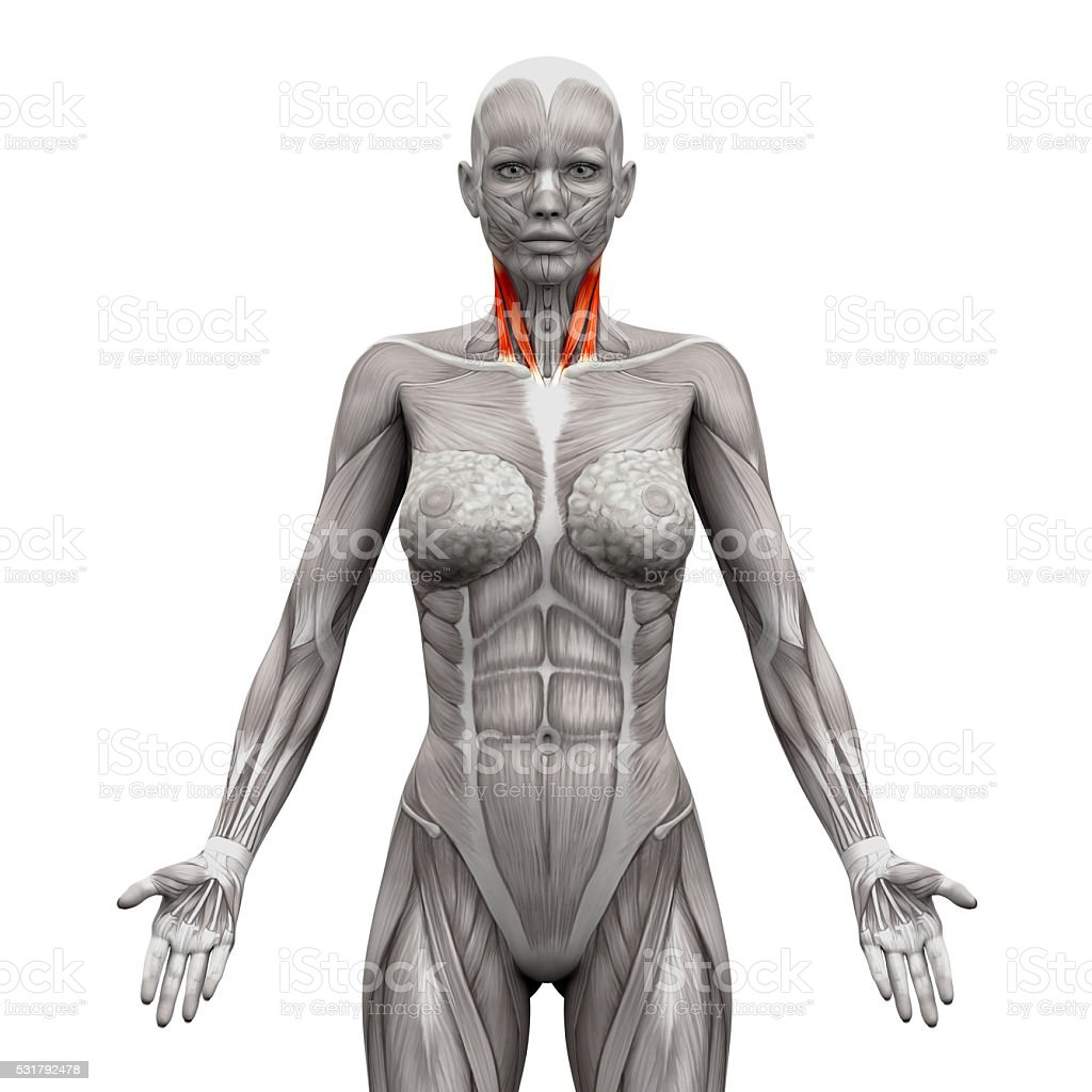 Neck Muscles Sternal And Clavicular Head Anatomy Muscle Stock Photo
