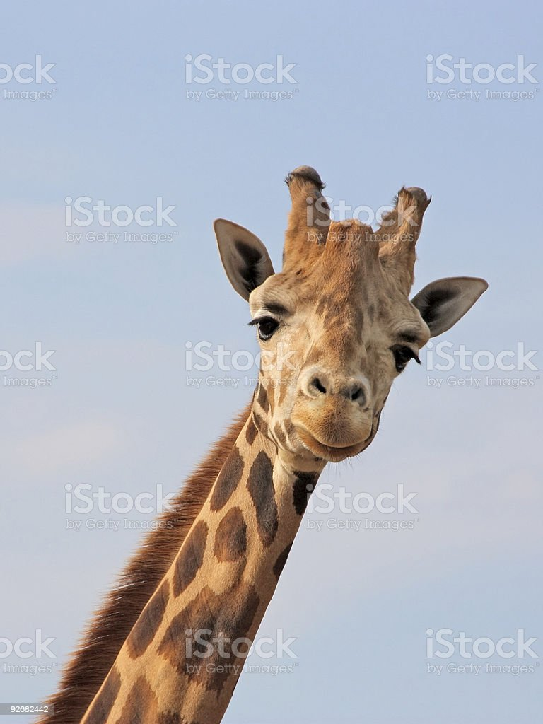 Neck to head giraffe looking at camera stock photo