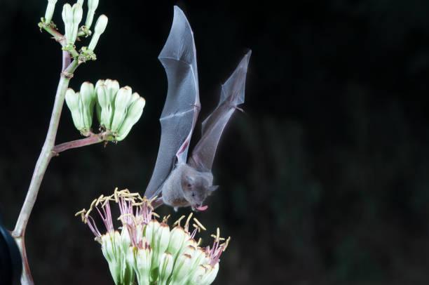 nektar bat fütterung - wasserfledermaus stock-fotos und bilder