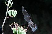 istock Nectar Bat feeding 853007162
