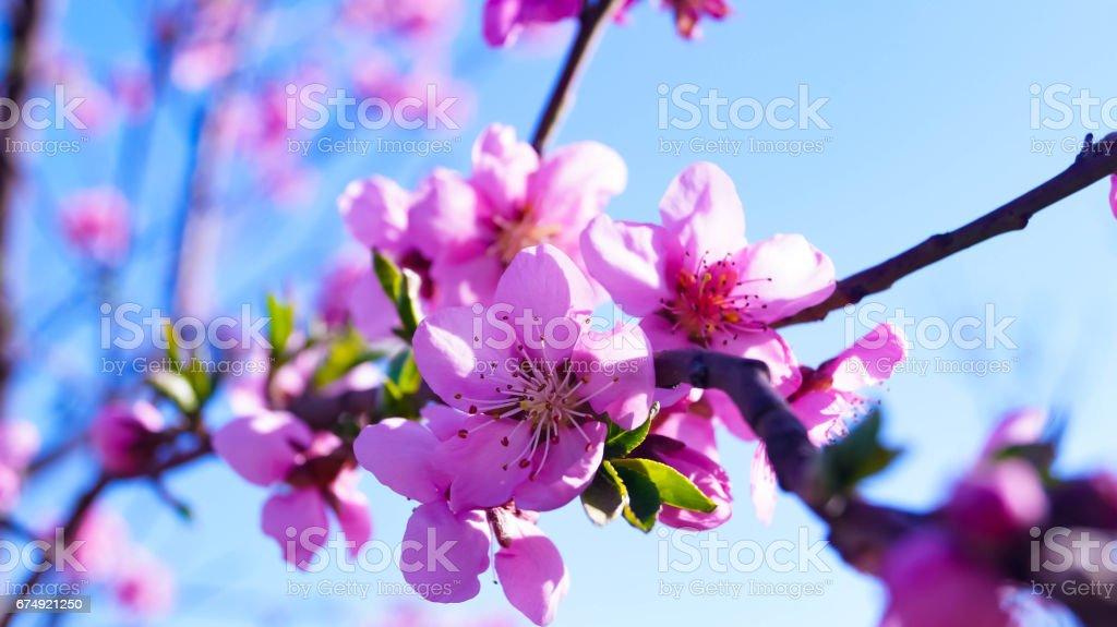 Nectarine blossom royalty-free stock photo