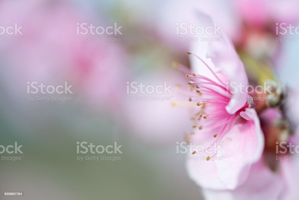 Nectarine flower detail stock photo