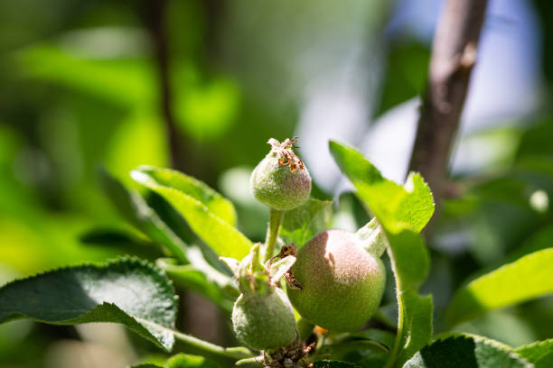 Nectarine Growing stock photo