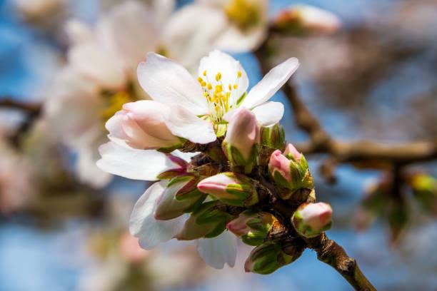 Nectarine Tree Blossom stock photo