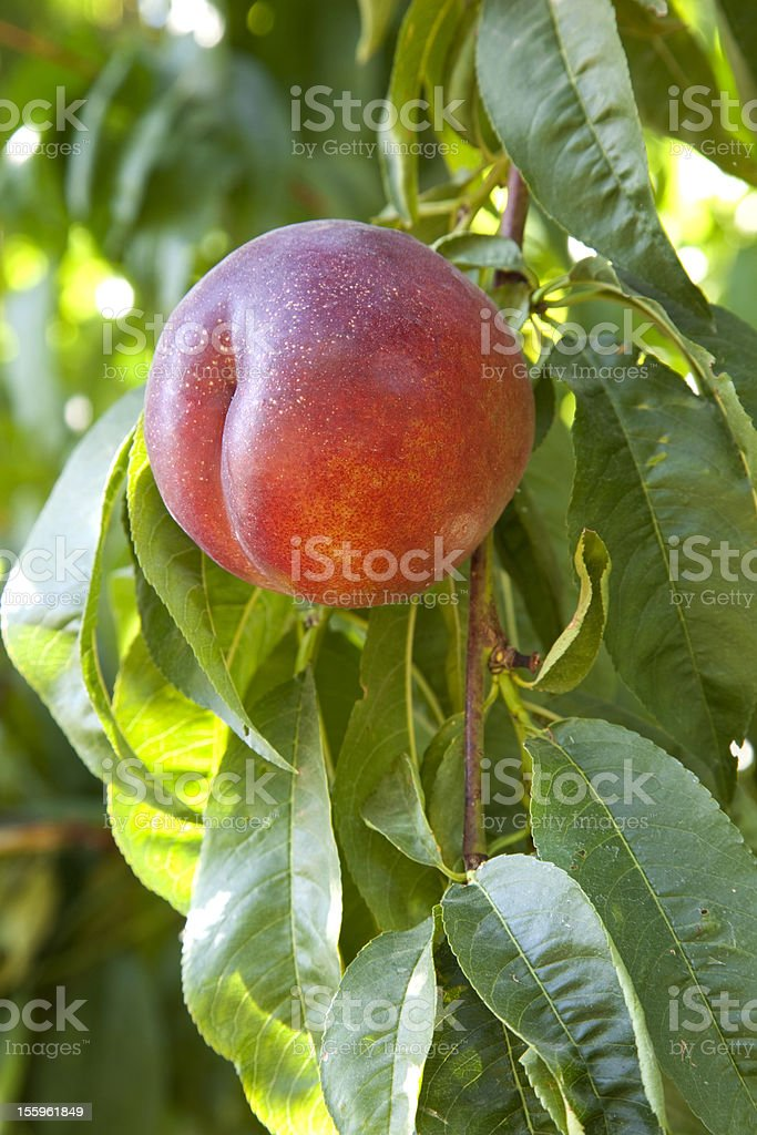 Nectarine Tree stock photo