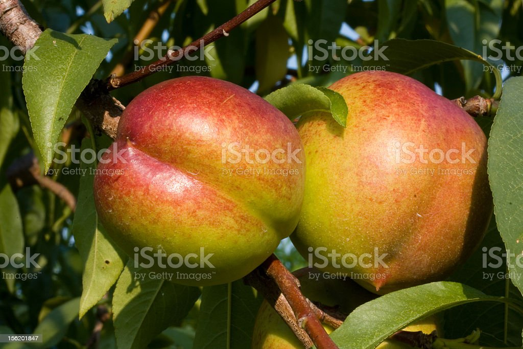 Nectarines on the Tree stock photo