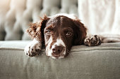 Shot of an adorable dog looking bored while lying on the couch at home