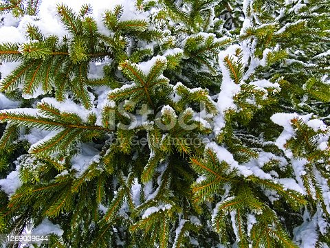istock Needle leaves of a conifer tree with snow 1269039644