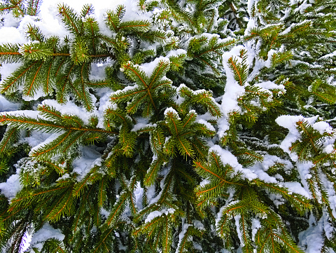 Needle leaves of a fir tree with snow