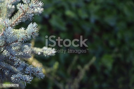 Needles of blue spruce picea pungens