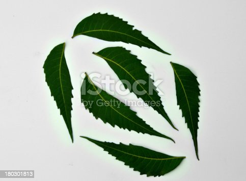 Neem Leaves Isolated on White Background Landscape.