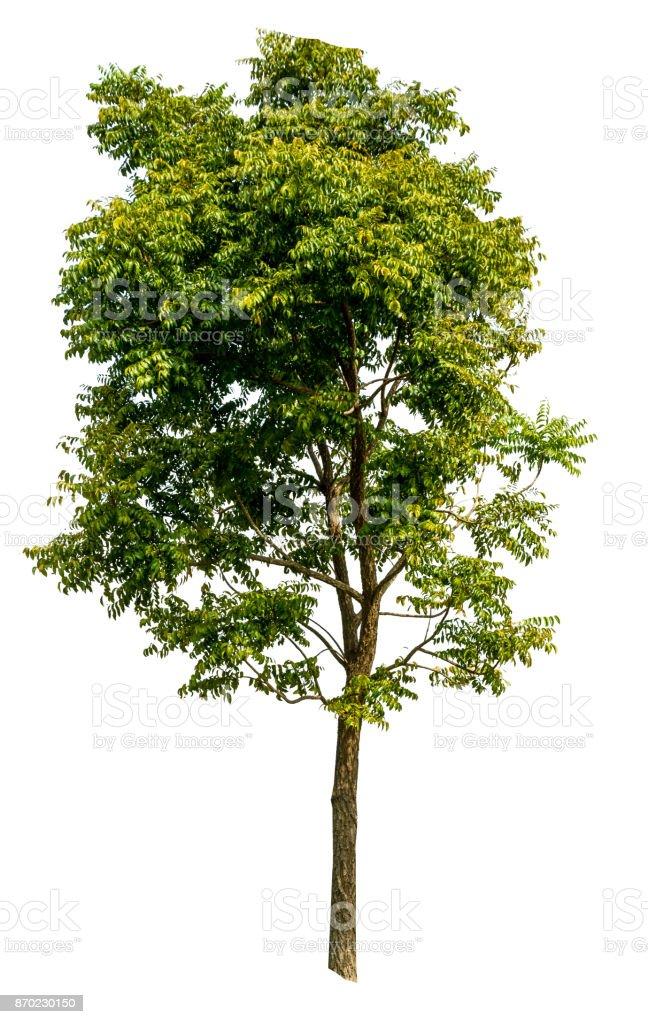 neem tree on white isolate background - foto stock