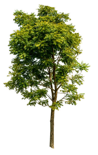 arbre de neem sur fond blanc de l'isolat - arbre à feuilles caduques photos et images de collection