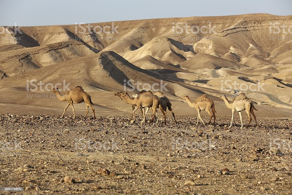 Negev Desert Israel Camels royalty-free stock photo