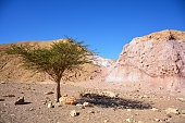 Negev Desert landscape. Single tree on the way to Red Canyon, Eilat, Israel