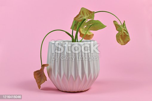 Neglected dying tropical 'Syngonum Neon Robusta'  house plant in white flower pot on pink background