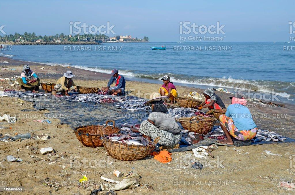 Negombo Fish Market - Zbiór zdjęć royalty-free (Fotografika)