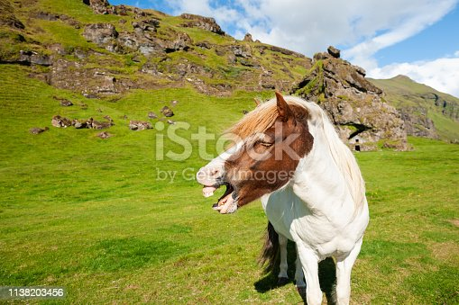 Neighing horse on the green field in Iceland