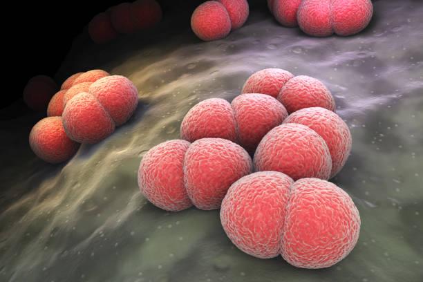 Neisseria meningitidis bacteria stock photo