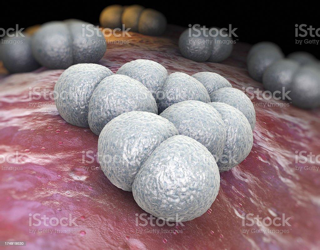 Neisseria meningitidis stock photo