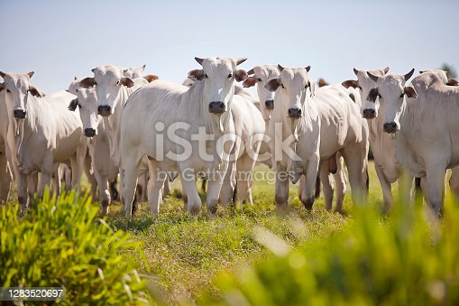 istock Nellore cattle grazing in the field at sunset, Mato Grosso do Sul, Brazil 1283520697
