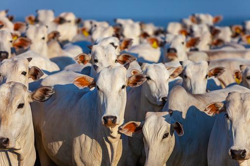 Vacche sui prati lungo le sponde del fiume Piave nel suo passaggio per Santa Giustina, Belluno, Italia