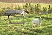 Nellore steer grazing in the field at sunset, Mato Grosso do Sul, Brazil