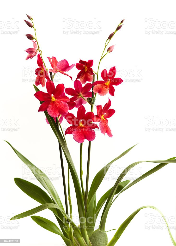 Nelly Isler Orchid royalty-free stock photo