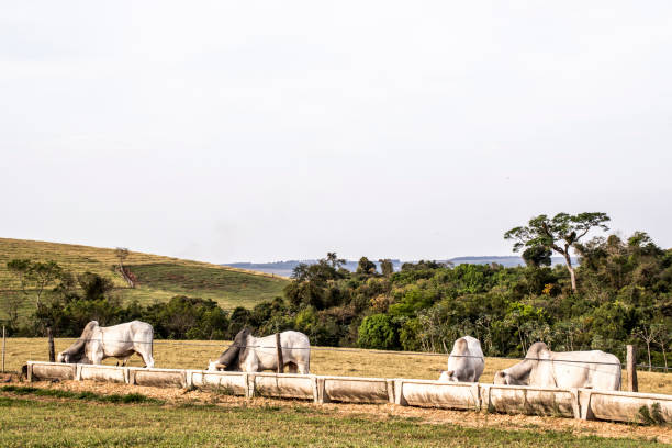 Nelore cattle eating on eater with dry pasture stock photo