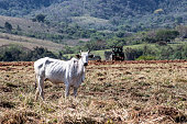 Cows grazing in the dry season. Typical landscape near Tepoztlan, Morelos, Mexico. The slight hunchback indicates that African Zebu, a cattle breed specialised for arid climate, has been crossed in.