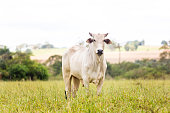 Nelore cattle in fattening production for slaughter. Livestock of Brazil.