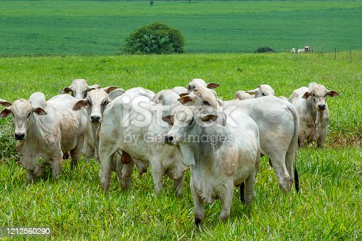 cattle Nelore, bovine originating in India and race representing 85% of the Brazilian cattle for meat production on farm. Brazil