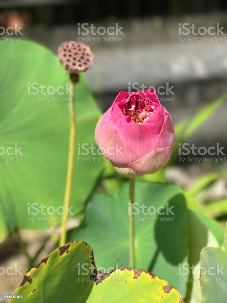 Nelumbo Nucifera Or Indian Lotus Or Lotus Flower Stock Photo More
