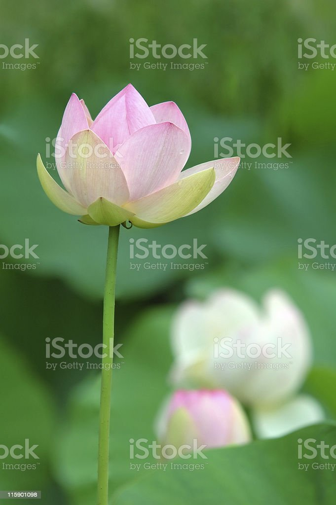 nelumbo nucifera royalty-free stock photo